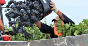 В Крыму распределили первые в 2020 году 16 млн рублей на развитие виноградарства