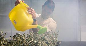Учёные КФУ высадят первую в России оливковую рощу в теплице