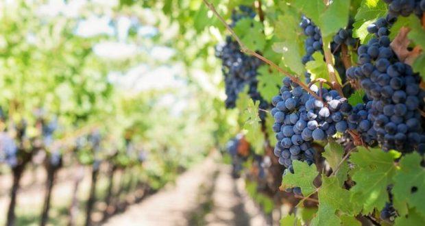 В Сакском районе реализуется проект по закладке виноградников