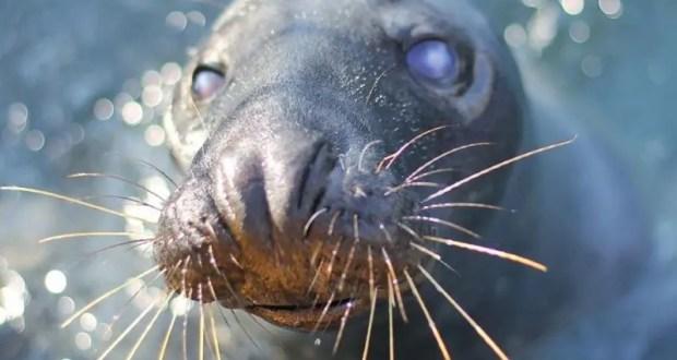 Нашелся тюлень Маэстро из крымского «Тайгана» - жив-здоров, поселился в Анапском дельфинарии