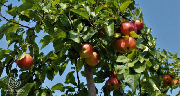 В Крыму начали сбор яблок