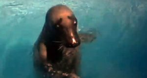 Тюлень из Крыма по имени Маэстро, он же Малыш снова переехал. На этот раз из Анапы в Геленджик