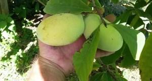 В Крыму будут выращивать экзотическую азимину