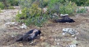 Разряд молнии убил стадо кабанов в горах Крыма