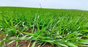 84% посевов озимых на полях Крыма находится в хорошем и удовлетворительном состоянии