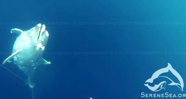 В Крыму неизвестные рыбаки изощренно прячут трупы убитых ими дельфинов
