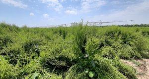 В Крыму в этом году посеют 460 гектаров семенников сахарной свеклы