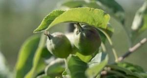 В суперинтенсивном яблоневом саду КФУ появились плоды