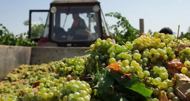 Севастопольские аграрии получили господдержку на развитие виноградарства