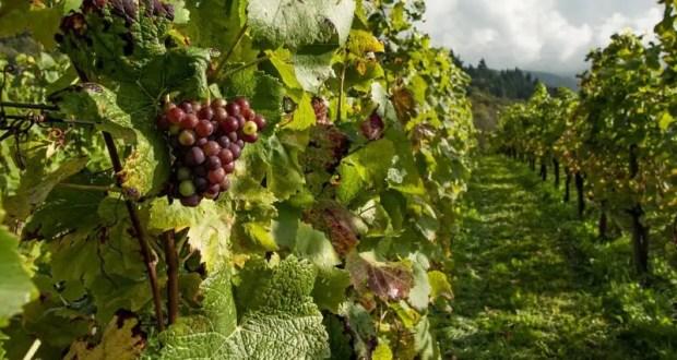 За 7 лет виноградарские предприятия Крыма получили от государства почти два с половиной миллиарда рублей