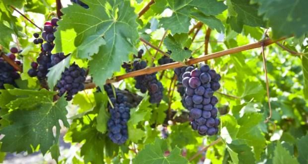 Федеральный закон увеличил спрос на крымские вина