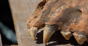 """В пещере """"Таврида"""" нашли полностью сохранившийся череп гигантской гиены"""
