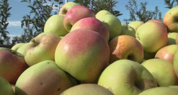 Севастопольские сельхозпредприятия начали собирать урожай яблок