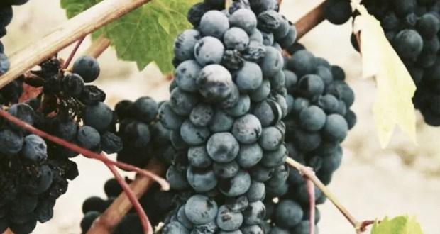 Крымские аграрии собрали около 40 тысяч тонн винограда