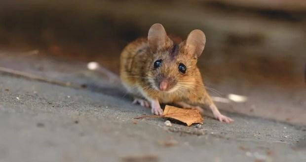Урожаю пшеницы в Крыму угрожают мыши