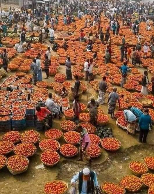 দিনাজপুরে টমেটোর বাম্পার ফলন , লকডাউনের কারনে দাম পাচ্ছেন না কৃষক