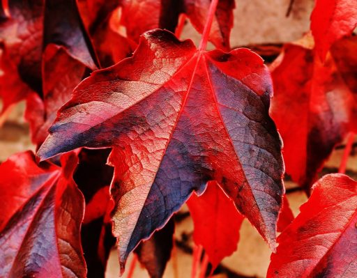 red and brown plant leaf in closeup photo