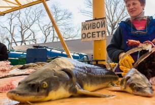 осётр,проверки,контрафакт,Москва
