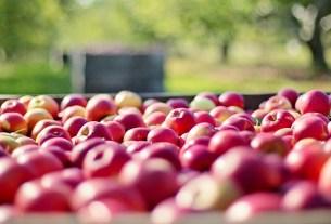 яблоки, Кубань, Тимченко