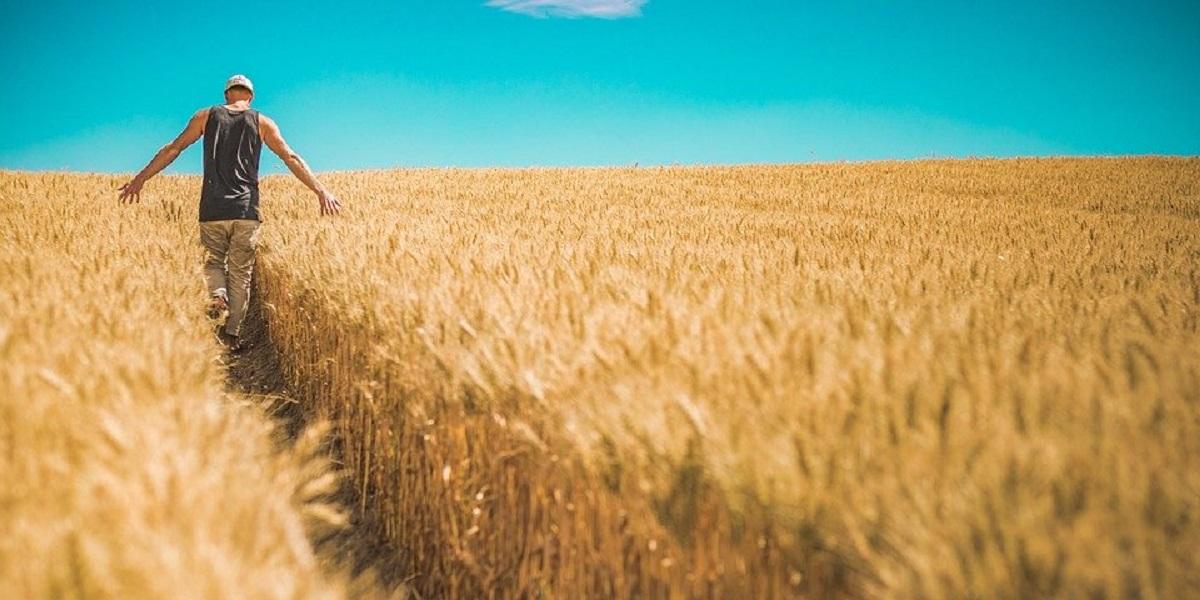 посев, урожайность, исследовния, пшеница