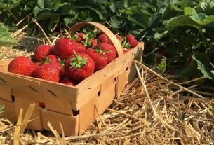 клубника, Совхоз им.Ленина, Подмосковье, бесплатные ягоды, урожай 2020
