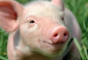 японская водка, сетю,Япония, свинина, мясо антистресс