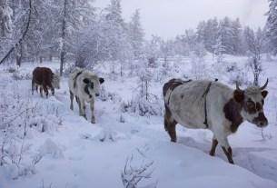 сурове коровы, российские коровы
