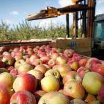 «Садоводы Кубани», яблоки, квоты, поддержка, Минсельхоз