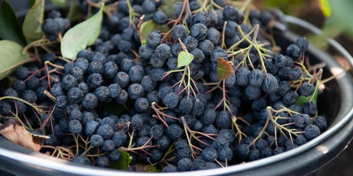 Притамбовье, фермерство, сады, арония, ягоды