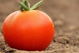 InnerPlant, США, селекция, томаты