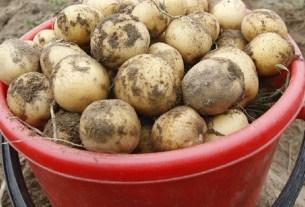 Белоруссия, Белстат, картофель, не картофель, главный продукт Белоруссии