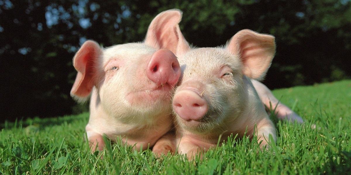 Journal of Animal Science, дрожжи Torula, свинина, свиноводство, Университет штата Иллинойс