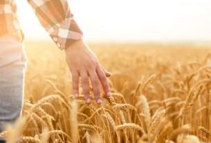 Пшеница, злаки