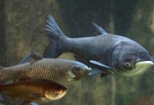 Карп, азиатский, большеголовый, рыба