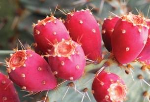 Плод, кактус