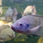 Philips, освещение, рыба, выращивание рыбы, исследования, Китай, тилапия