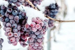 ледяное вино, настоящее вино, вино Германии, виноград в снегу