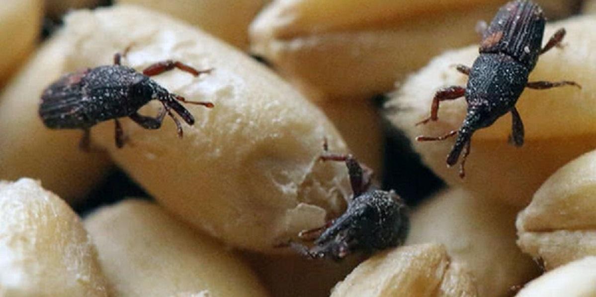 Дикий хмель, зерно, исследование, Италия, ботанические пестициды, амбарный долгоносик