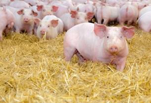 Институт Рослина, Genus PLC, РРСС, синдром свиней, ГМО свинина, свиньи