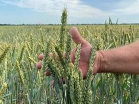 Подмосковье, новый сорт пшеницы, высокое содержание белка, озимая мягкая пшеница, «Немчиновская 85»