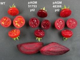 ГМО-помидоры, фиолетовые помидоры, бетанин, пищевой краситель