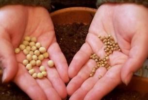 Syngenta Эрик Фирвальд, отредактированные семена, не ГМО
