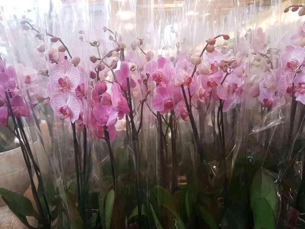 Phalaenopsis Multihybriden