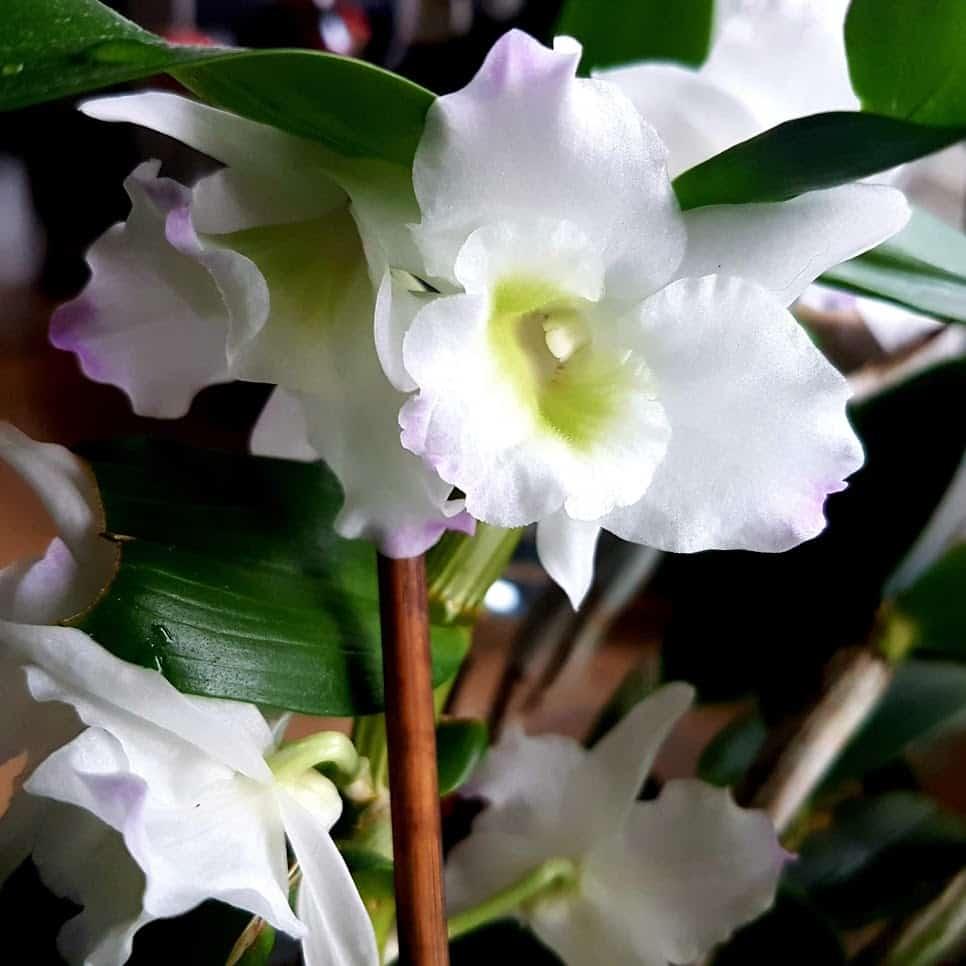 Dendrobium Pflege kalt