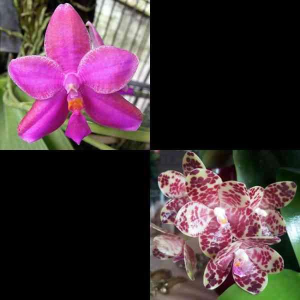 Phal. George Vasques A-Lin x gigantea Jumbo Orchids