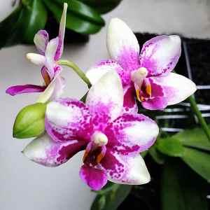 Phalaenopsis Jia Ho Summer Love