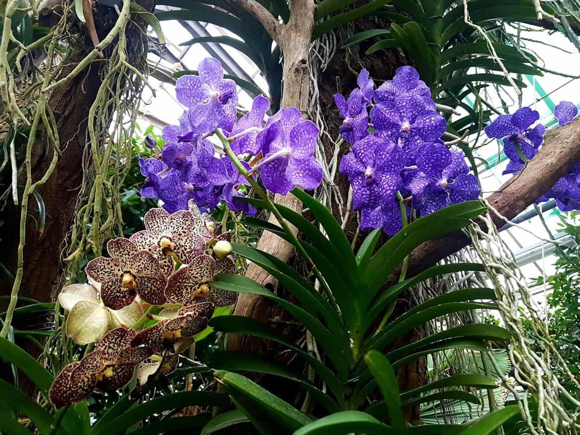 Vanda Orchideen – Haltung und Pflege