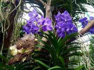 Vanda Orchidee kaufen