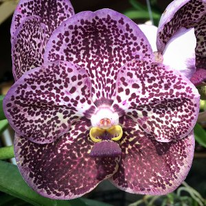 Vanda Kuwaldee Fragrance No. 27