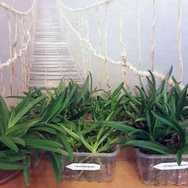 Vandeen Jungpflanzen